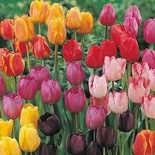 cheap tulip bulbs for sale buy tulip bulbs meuwen