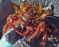 Decorator Crab Tank Mates by Decorator Crab Of The Sea Saltwater Tank