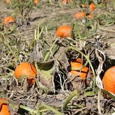 Pumpkin Picking Near Lancaster Pa by Heaven Hill Farm 62 Photos U0026 38 Reviews Nurseries U0026 Gardening