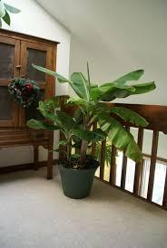 pflege der bananen pflanzen und was sie beachten sollten