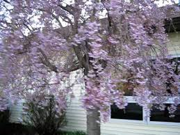Pretty Weeping Pink Cherry Tree Flowering