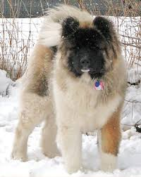 Do Akita Dogs Shed Hair by Longcoated Akitas