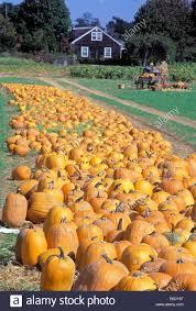 Pumpkin Picking Farm Long Island Ny by Pumpkin Patch South Hampton Long Island New York Usa Stock