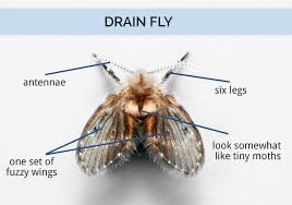 what are drain flies drain fly identification