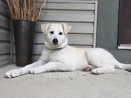 pyrador great pyrenees lab mix breed dog breed information
