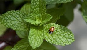Attracting Insects To Your Garden by 10 Plants To Attract Ladybugs In Your Garden Lifegate