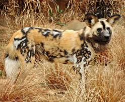 The West African Wild Dog Lycaon Pictus Manguensis Is Another Subspecies Native To And Central Africa All Dogs Are