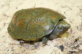 flattened musk turtle