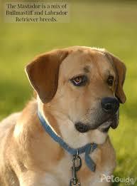 Low Shedding Big Dogs by Mastador