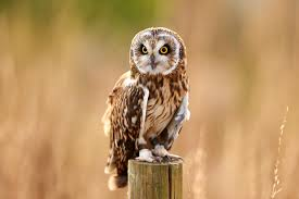 Owl Pictures - Snowy Owls, Barn Owls And More Barn Owl Looking Over Shoulder Perched On Old Fence Post Stock Eccles Dinosaur Park Carnivore Carnival The Salt Project Barn Moving Head Side To Slow Motion Video Footage 323 Best Owls Images Pinterest Owls Children And Free Images Wing White Night Animal Wildlife Beak Predator 189 Beautiful Birds Sat A Falconers Glove Photo Royalty Image Paris Owl 150 Pictures Snowy More