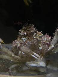 Decorator Crab Tank Mates by What S Going On At The Santa Pier Aquarium This Week