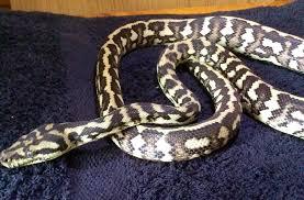Coastal Carpet Python Facts by Coastal Carpet X Irian Jaya Python Jag Sib Reading Berkshire