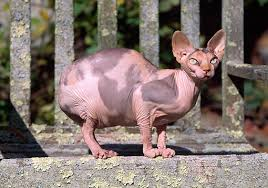 hairless cat price sphynx animal stock photos kimballstock