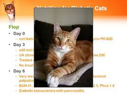 clindamycin for cats wendy blount dvm sweet success managing the diabetic in small