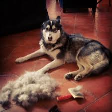 Rat Terrier Excessive Shedding by Dog Shedding What To Expect And How To Manage It American