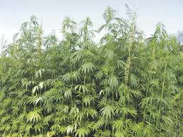 100 Two Men And A Truck Lexington Ky Men Face Trafficking Felony For Transporting Alleged Hemp Plant