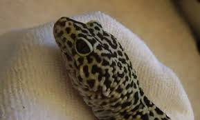 Do Leopard Geckos Shed by How To Remove Stuck Shedded Skin From Leopard Gecko Toes Youtube