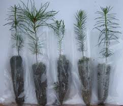 Types Of Christmas Trees To Plant by Seedling Favors Redrock Farm