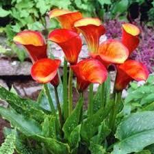 calla bulbs for sale buy flower bulbs in bulk save cala