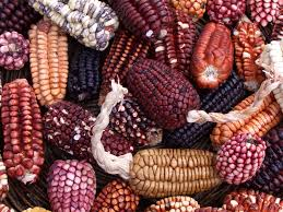 16 Best Corn Idea2 Images On Pinterest   Different Types Of, Seeds ... Prettiest Popcorn I Ever Did Grow The Unfettered Fox Glass Gem Corn Littlegirlstory Glass Gem Corn The Cover Of Our Whole Seed Catalog Carls Flint Is An Unbelievably Stunning Bred By Part Hdenosaunee The Iroquois Confederacy Tuscarora White Oliveloaf Design Afbeeldingsresultaat Voor Peru Brazil Colored Pinterest 9 Best Sweetcorn Images On Color 2 Cob And Maze Story Behind Business Insider 1293 Indian Fruit Pink Popcorn