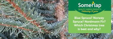Nordmann Fir Christmas Tree by Norway Spruce Vs Blue Spruce Vs Nordmann Fir Which Is The Best