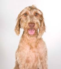 Vizsla Dog Breed Shedding by Wirehaired Vizsla Dog Breed Everything About Wirehaired Vizsla