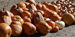 Best Pumpkin Patch In San Bernardino County by What Happens To Pumpkins After Halloween U2013 Press Enterprise