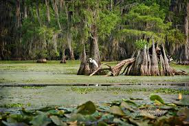 alligator bayou lake update louisiana caddo lake
