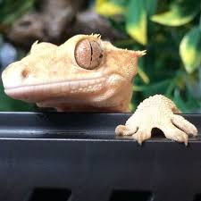 Crested Gecko Shed Stuck On Eye by 1746 Best Reptiles Images On Pinterest Lizards Monitor Lizard