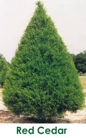 Red Cedar Tree Farms Beautifying FloridaChristmas Thrive In Cities And Suburbs As Well More Traditional Rural Areas