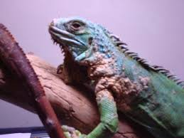 African Dwarf Frog Shedding Or Sick by I Have A Iguana With A Brownish