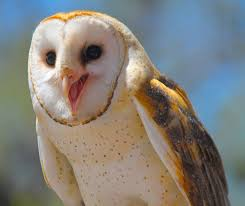 Happy Barn Owl By WilliamJCovello On DeviantArt Barn Owl Tyto Alba Onyx On The Left Is A British Male Flickr Fimale 3 6942373687jpg Wikimedia Commons Ruffled Feathers November 2014 Mysterious Wise Barn Owl In Shadows Nocturnal Hunter World Bird Sanctuary January 2013 Owls Ghosts And Noises Night The Trust Lone Pine Koala Owlline Owllinelovers Twitter Audubon Field Guide A Brief Introduction To Common Types Of Barney California Raptor Center Connecticuts Beardsley Zoo