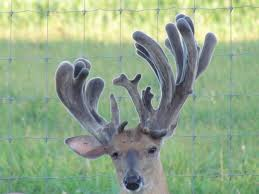 When Do Whitetails Shed Their Antlers by Understanding Antler Growth Higgins Outdoors