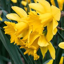 daffodil bulbs item 3560 golden harvest for sale