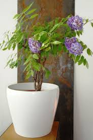 planting wisteria in a pot the 25 best american wisteria ideas on wisteria