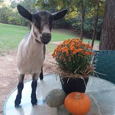 Pumpkin Patch Farms Raleigh Nc by Carve A Pumpkin With Baby Goats At Spring Haven Farm Chapel Hill