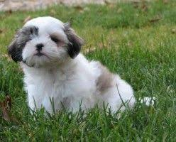 Dogs That Shed Less Hair by Top 10 Small Dogs That Don U0027t Shed Dog Fur Babies And Animal