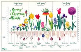 bulb chart bloom time and planting depth for blooming