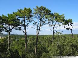 pin maritime pin des landes pinus pinaster conseils de culture