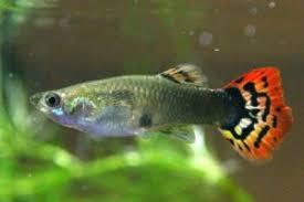 poisson eau douce aquarium tropical 10 poissons d eau douce