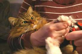 how to cut a cats nails claws how to clip a cats nails