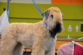 Do Wheaten Terriers Shed by 7 Things You Didn U0027t Know About The Wheaten Terrier U2013 Iheartdogs Com
