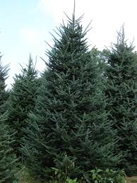 Fresh Christmas Trees Types by Sugar Mountain Fraser Firs The Fresh Tree Advantage Provided By