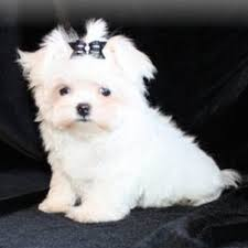 Cute Non Shedding Dog Breeds by Designer Puppies Morkies Maltipoos Red Maltipoos And More
