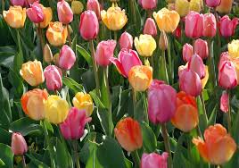 growing tulip bulbs how to plant and care for tulips