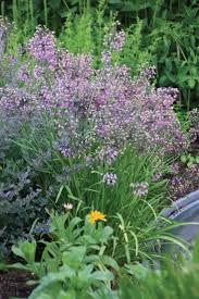 allium cernuum s leek bulbs for sale garden landscape