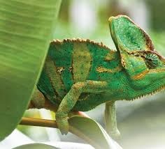 100 Chameleon Floor Registers The Veiled Care Information Vivexotic Vivariums