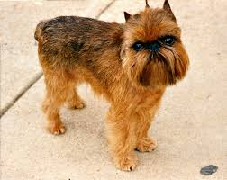 What Dog Sheds The Most by The Most Popular Tiny Dog Breeds In America Pets
