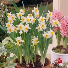 paperwhite bulbs sacred lilies american