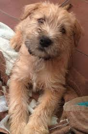 72 best soft coated wheaton terrier images on pinterest terriers